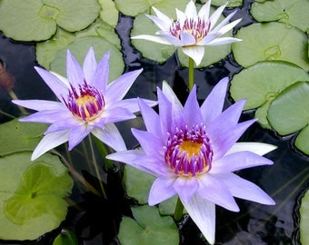 100 DWARF blue Water Lily / Pond Plant / Flowering Seeds*