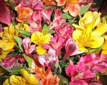 Peruvian lily, flower photography, original, wall art