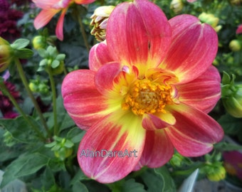 Bold red and yellow flower, original photograph print, wall art