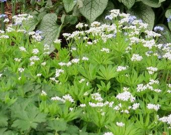Sweet Woodruff (Galium Odoratum)-groundcover perennial-live plant