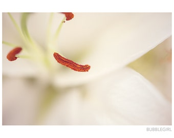 Nature Photography PRINT, White Lily - 3, Wall Art