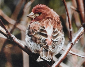 Purple Finch, Photo Print, Photography, Canvas Print, Stretched Canvas, Perching Bird, Dogwood, Raspberry Red, Dull Red,