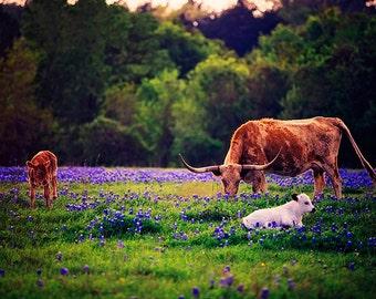 Texas Longhorns - Texan Photography - Bluebonnets - Cattle - Travel - Animal Prints