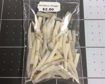 Ridged Dentillium