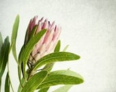 Tropical flower photography / pale pink pastel / white modern rustic decor / floral wall art / kitchen art print 'Protea One'