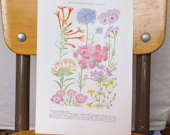 Vintage Antique Botanical Magazine Phlox Botanical Print National Geographic 1920s Floral Art Wild Flowers Pink Purple 1930s Cottage Chic
