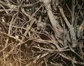 Fallen, Uprooted Beech tree, Metallic photograph, 13x19 inches, Signore, tree photograph, tree roots, roots, nature photography, dark