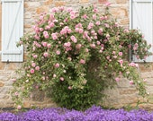 France Photography,  Summer Roses in the South of France, Martel, Summer, Roses, Nature, Pink and Purple, neutral tones, French Wall Art