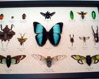 Real Framed Insect Collection Museum Shadowbox Display 16 Specimens 8019