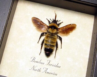 Real Framed North American Fiery Bumble Bee Bombus Fervidus 8068