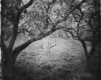tree photo, tree photograph, nature photo, twisted branches, landscape photo, black white landscape, cherry blossom, trees, Ontario, moody