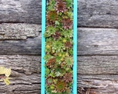"""Succulent Living Wall, DELIVERY in SPRING, Read to HANG 24"""" x 8"""""""