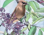 Cedar Waxwing with Serviceberries - Open edition print of an original watercolor (fits 11x14 frame)