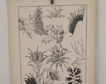 Grevilleas-LARGE Vintage Plant Form Print-Book Plate-1903-Found in Dublin