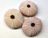 Trio of Beautiful Pink Sea Urchins - Tropical Decor - Nautical Decor - Exotic Decor - Nautical Craft Supply - Beach Craft Supply
