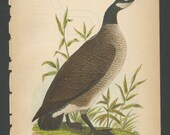 Wild Goose 1890 Bird Lithograph B.H. Warren