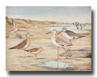 "Sandpipers Art, Beach Decor (Ocean Lover Gift, Vintage Coastal Decor Beach House) --- ""Upland Plover, Sandpipers, Willets"" No. 31"