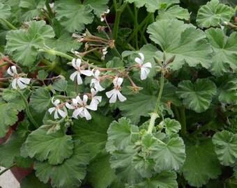 Nutmeg Scented Geranium, Fragrant Gernaium, Live Plant Scented Pelargonium in 4 Inch Pot