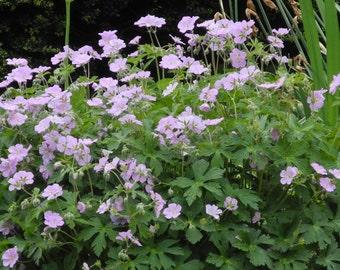 Wild Geranium  plants