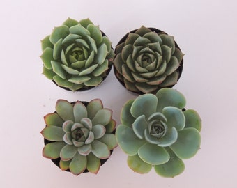Premium Party Favors - Collection of 6  Succulents