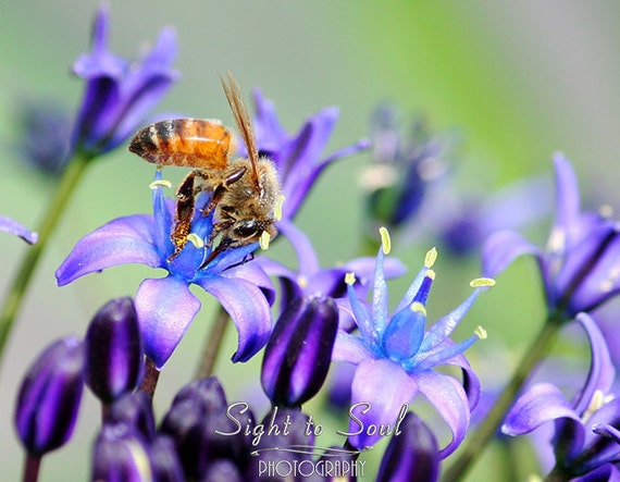 Nature Photography, honey bee print, affordable wall art, blue purple green home decor, honeybee art, nursery wall decor, fine art print