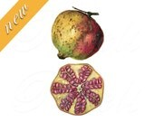 POMEGRANATE bookplate, yellow, orange, red, Instant Download Digital Image fruits clipart no.435