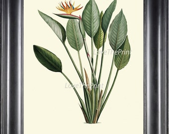 BOTANICAL PRINT Redoute  Art 78 Beautiful Tropical Bird of Paradise Flower Palm Antique Wall Home Plant to Frame Bedroom Living Room