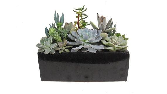Succulents in an 8 black rectangular ceramic planter - Rectangular succulent planter ...