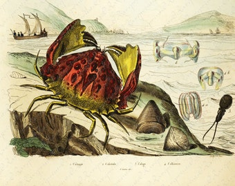 Antique Original  Natural History Hand Colored Print Of Sealife - Crabs- Calappe - Calige Gorgeous from HISTOIRE NATURELLE
