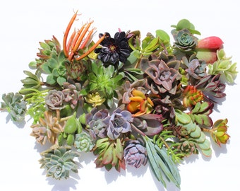 "succulent clippings 20 succulent cuttings 20 different 1-5"" large succulent clippings succulent kit succulent garden succulent starter kit"