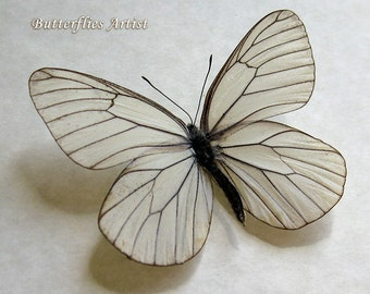 White Black Veined Aporia Crataegi Real Butterfly In Shadowbox