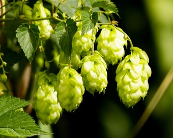 Fully Rooted Organically Grown Hops Plant for HomeBrew/Craft Brewing  Centennial, Chinnok, Cascade