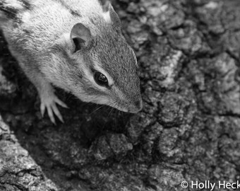 Black and white, Chipmunk, fine art, Photo print