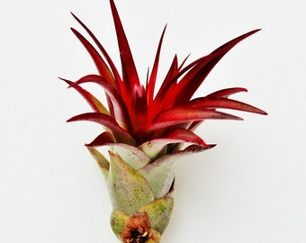 5 Pack - Air Plant - Red Abdita Air Plants - Set of 5 - Fast FREE Shipping - 30 Day Guarantee - Air Plants for Sale
