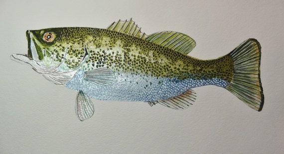 Largemouth Black Bass Original Watercolor Fish Watercolor