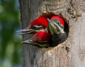 Pileated Woodpecker Chicks #5685