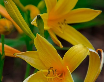 Nature photography, flower photos, Spring, art, home decor, Fine art photography, macro photography, Romance, gift for her,  yellow flower