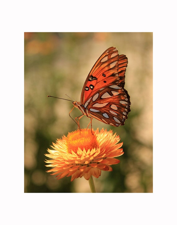 Butterfly Photography, Butterfly Photo, Butterfly Art, Orange Butterfly, Orange Flower, Nature Photography, Fine Art Photography, Home Decor