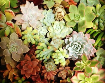 25 Succulent Cuttings Variety Mixture Growers Choice