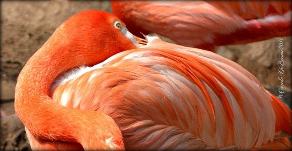 FLAMINGO AT REST ~ Audubon Zoo ~ Feathered Friends Series ~ Zoo Photography ~ New Orleans, Louisiana ~ Close up