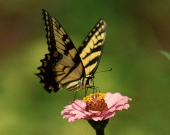 Yellow Butterfly Fine Art Photography Wall Photo Print, Butterflies on Pink Flower Flying Animal Insects Moths Wildlife Zoo Spring
