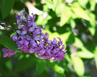 Photograph Lilac bloom  5x7 matted, 8x10 matted