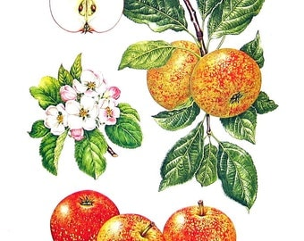 Apple Print - Beauty of Bath Apples - Kitchen Decor - Wall Hanging - Vintage 1993 Book Page - 9 x 8
