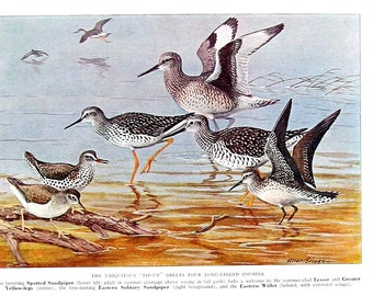 Bird Print - Spotted Sandpiper, Lesser Yellow Legs, Greater Yellow Legs, Eastern Willet - 1932 Book Page from Vintage Bird Book -10 x 7