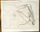 1843 PTERODACTYL SKELETON print antique original dinosaur fossil engraving - pterosaur winged lizard jurrasic era Pterodactylus