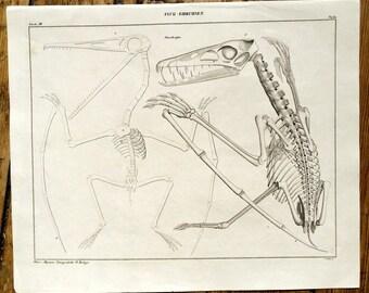 1843 PTERODACTYL SKELETON ENGRAVING -  original antique print - dinosaur fossil - pterosaur winged lizard jurrasic era Pterodactylus