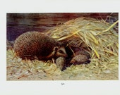 1910 Antique HEDGEHOG print, HEDGEHOG FAMILY, mother with her babies, original antique circa 100 years old print