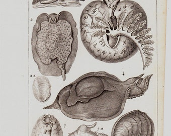 Antique print 1816 Antique SHELL Lithograph, sea snails, original antique print,