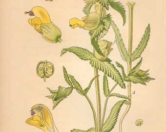 1884 Greater Yellow-rattle, Alectorolophus maior Antique Lithograph