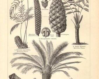 1903 Cycads, Cycadineae, Zamia Fern, Queen Sago, King Sago or Japanese Sago Palm Original Antique Engraving to Frame